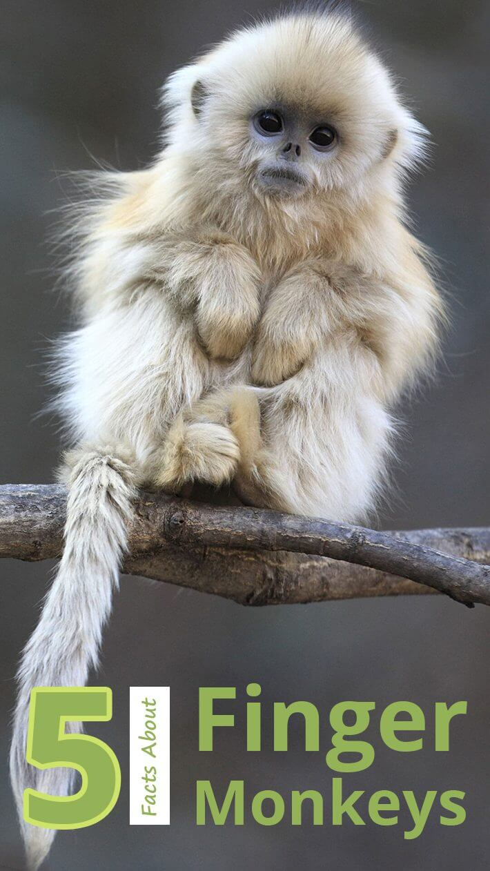 5 Facts About Finger Monkeys