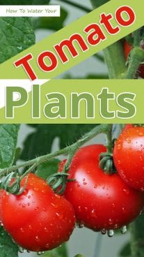 How To Water Your Tomato Plants
