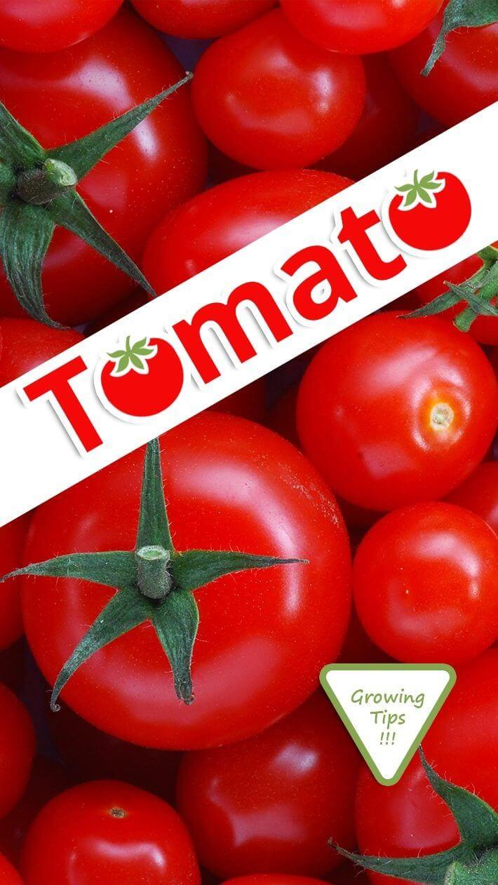 Tomato Growing Tips