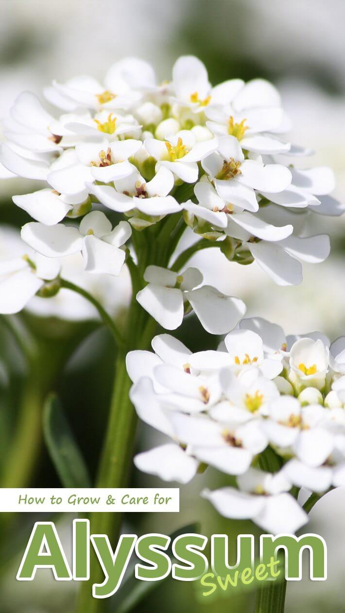 How to Grow & Care for Sweet Alyssum