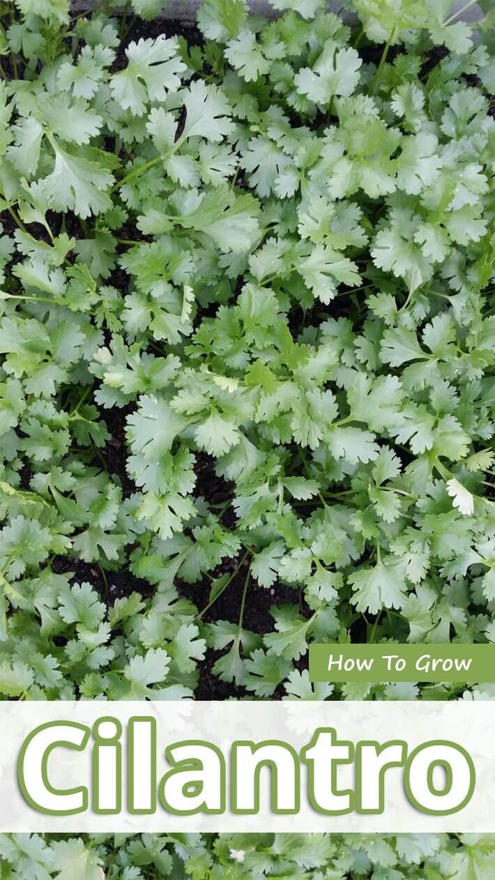 How To Grow Cilantro Recommended Tips