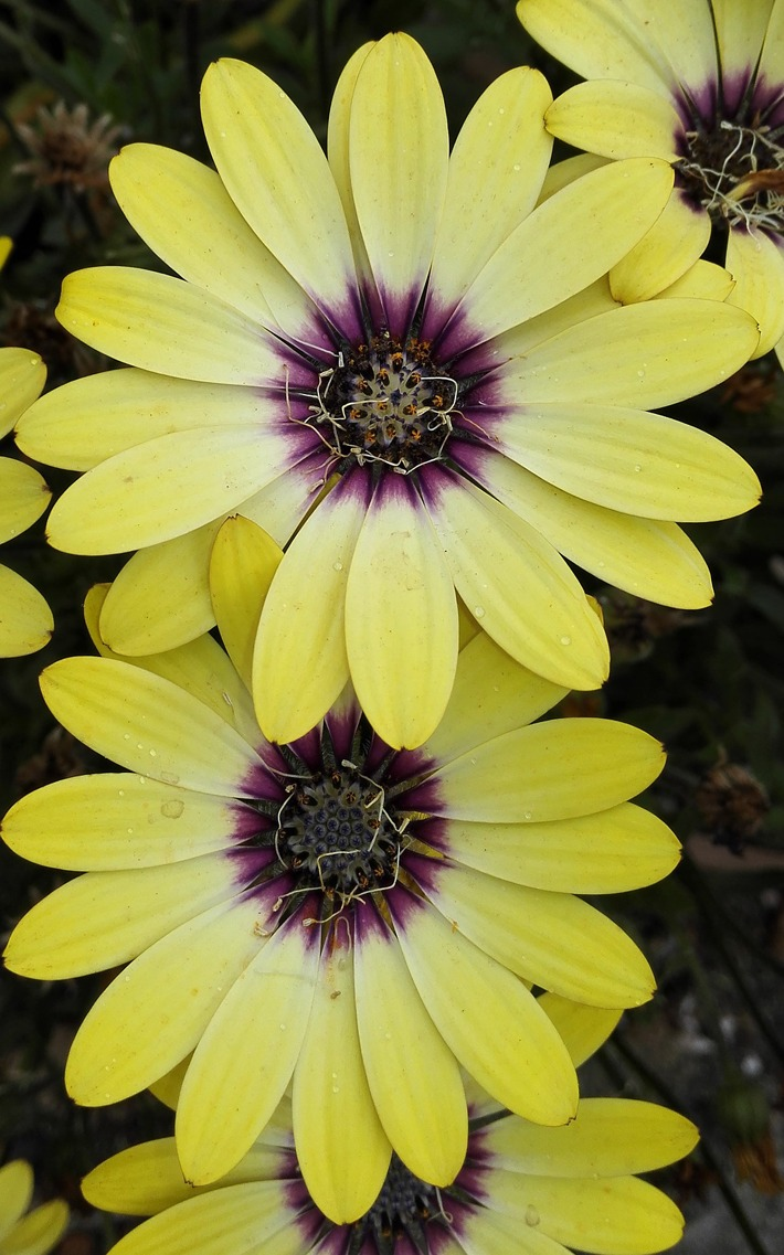 How to Grow African Daisies