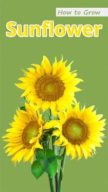How to Grow Sunflower